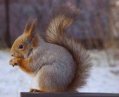 mattiparkkonen_orava